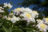 DR. KINSEY'S PEONY GARDEN AT MEDFORD LEAS
