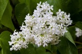 1.  White lilacs by the Glenfalls House.