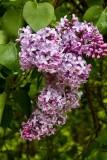 5.  More lilacs at the Glen Falls House.