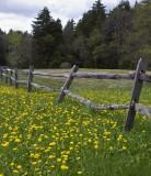 20.  A field of dandelions.