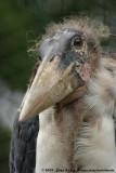 Marabou StorkLeptoptilos crumenifer