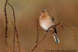 Finches and Canaries  (Vinken)