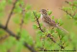 Clay-Colored SparrowSpizella pallida