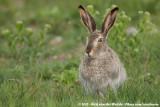 Rabbits and Hares  (Hazen en Konijnen)