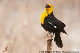 Blackbirds and allies  (Troepialen)