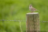Vesper Sparrow  (Avondgors)