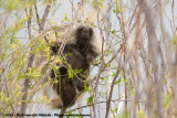 New World Porcupines  (Boomstekelvarkens)