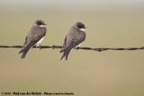 Swallows and Martins  (Zwaluwen)