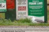 California Gull  (Prairiemeeuw)