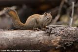 American Red Squirrel  (Amerikaanse Rode Eekhoorn)