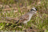 White-Crowned Sparrow  (Witkruingors)