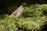 White-Crowned SparrowZonotrichia leucophrys oriantha