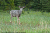 Mule Deer  (Muildierhert)