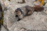 Hoary Marmot  (Grijze Marmot)