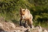 Red FoxVulpes vulpes abietorum