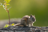 Least Chipmunk  (Kleine Chipmunk)