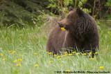 Grizzly BearUrsus arctos horribilis