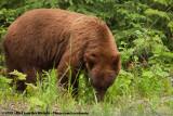 American Black BearUrsus americanus altifrontalis