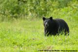 American Black Bear  (Zwarte Beer)
