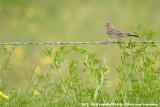 Vesper SparrowPooecetes gramineus confinis