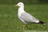 Ring-Billed Gull  (Ringsnavelmeeuw)