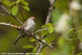 Chipping SparrowSpizella passerina arizonae