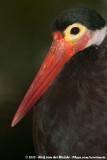 Storm's Stork  (Soendaooievaar)