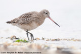 Bar-Tailed Godwit  (Rosse Grutto)