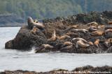 Eared Seals  (Zeeberen en Zeeleeuwen)