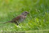 Song Sparrow  (Zanggors)