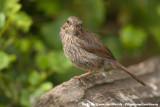 Sooty Fox Sparrow  (Grauwe Roodstaartgors)