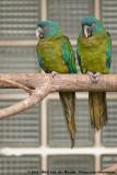 Blue-Headed MacawPrimolius couloni