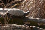 European Pond Turtle  (Europese Moerasschildpad)