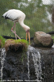 Milky Stork  (Maleise Nimmerzat)