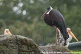 Woolly-Necked Stork  (Bisschopooievaar)