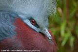 Southern Crowned-Pigeon  (Scheepmakers Kroonduif)