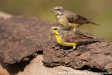 Yellow-Fronted CanarySerinus mozambicus caniceps