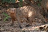Banded Mongoose  (Zebramangoeste)