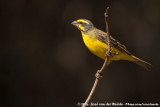 Yellow-Fronted Canary  (Mozambiquesijs)