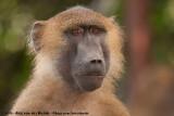Guinea Baboon  (Bruine Baviaan)