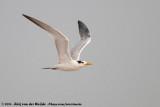 West African Crested Tern  (Afrikaanse Koningsstern)