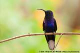 Violet Sabrewing  (Violette Sabelvleugel)
