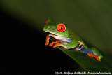 Amphibians  (Amfibieën)