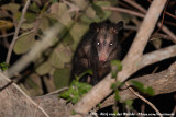 American Opossums  (Opossums)
