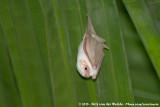 Sheath-Tailed Bats  (Schedestaartvleermuizen)