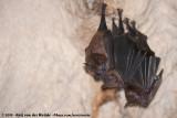 American Leaf-Nosed Bats  (Bladneusvleermuizen van de Nieuwe Wereld)