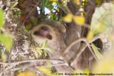 Two-Toed Sloths  (Tweetenige Luiaards)
