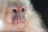 Capuchin and Squirrel Monkeys  (Kapucijn- en Doodshoofdaapjes)