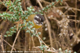 Sooty-Capped Bush Tanager  (Witbrauwtangare)