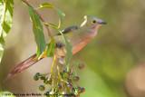 Silky-Flycatchers  (Zijdevliegenvangers)